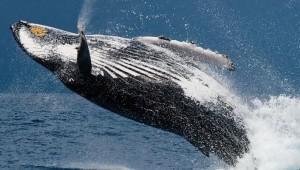 Balene e capodogli